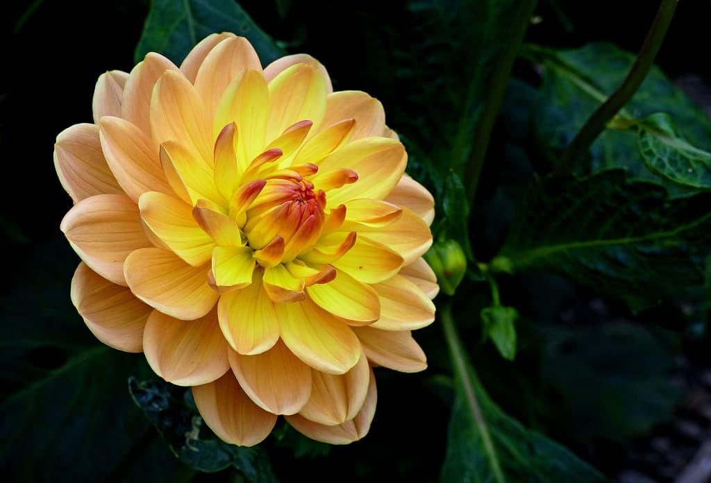A yellow flower against a dark background.